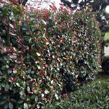 20 pezzi lucentezza mispel sempre verde Photinia Red Robin siepi Pianta 40-60 cm in vaso