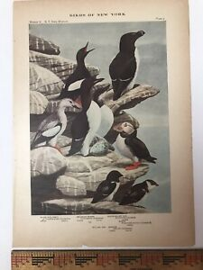 Vtg Original Print Plate #3: Puffin, Auk Birds of New York 1916 Fuertes nature