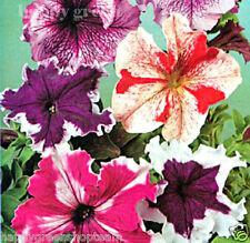 PETUNIA SUPERBISSIMA - 1000 seeds - Petunia grandiflora - BALCONY FLOWER