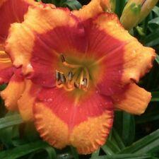 Daylily Plant ASHVILLE AUTUMN BLAZE 2 Fans Perennial Selman Orange Red Flower