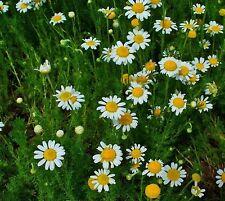 Chamomile Roman - Chamaemelum nobile - 10,000 Seeds