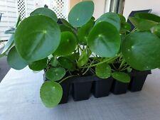 2 Ableger , Pilea peperomioides, Ufopflanze, Jungpflanze