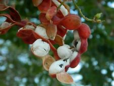 50 Seeds White Guamuchil, Pithecellobium dulce Tree Madras Thorn Manila tamarind