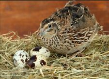12 JUMBO QUAIL HATCHING EGGS for Incubation Fertile Eggs