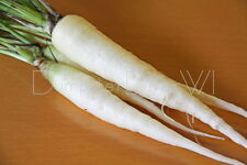 Lunar White Carrot SWEET Mild Flavor 50+ seeds Rare Organic Heirloom NON-GMO