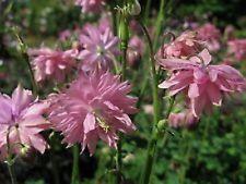 25+ Aquilegia Vulgaris Barlow Rose Flower Seeds / Perennial