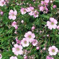 Gypsophila-Elegans-  Rosea- 100 Seeds