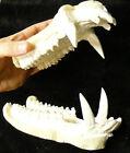 Huge peccary javelina pig jaws teeth cast replica taxidermy