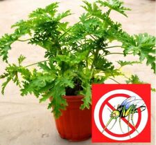 100 pcs Riddex Plant Seeds Mosquito Repelling Grass Mozzie Buster Sweetgrass. Ga