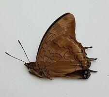 Butterfly : Charaxes mafuga  MALE  from Burundi