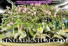 "ADENIUM THAI SOCOTRANUM  "" S1 "" 10 SEEDS NEW FRESH RARE GREAT FOR BONSAI"