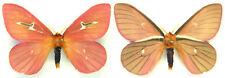 MOUNTED SPREAD BUTTERFLY - Cerodirphia avenata, male, Costa Rica