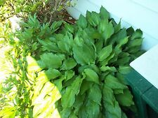 Hosta Bare Root perennial  4 root systems get started purple flower