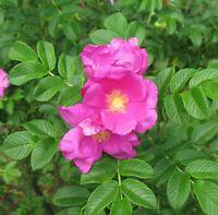winterharte frostharte Blume i! Apfelrose !i Zierstrauch blühend Blühpflanze
