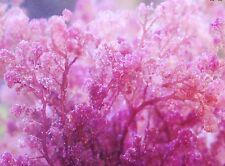 Live Frag Pink Hetereosiphonia Gibessii Marine Macro Algae Reef Refugium Coral