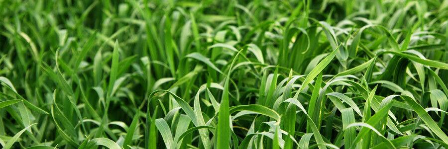 Cooyar Grass Seeds
