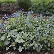 Brunnera macrophylla Looking glass pot 1 litre Buglosse du caucase