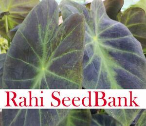 Taro Colocasia Black Beauty Black Velvet Vigorous Growing Variety 1 Small Plant