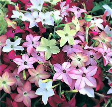 Flowering Tobacco Flower Seeds - Bulk - 500 Seeds *