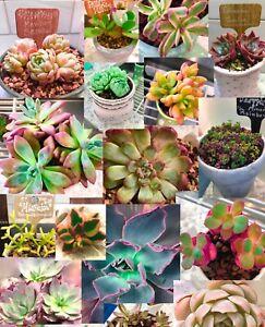 10Assorted Premium Succulents Cuttings 10Varieties Echeveria Crassula Grapt Etc.