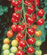 RAPUNZEL TOMATO Lycopersicon long trusses cherry fruit plant in 100mm pot