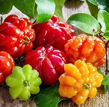 20 Pcs Suriname Cherry Seeds Pitanga Fruit Seeds Brazilian Cherry Cayenne cherry