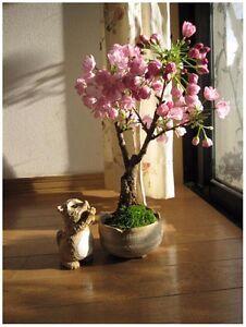 Japanische Kirschblüte Zierkirsche - Sakura Bonsai - Bonsai Samen/Seeds Rarität