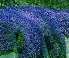 50+  AUBRIETA ROYAL BLUE ROCK CRESS /  PERENNIAL /  DEER RESISTANT FLOWER SEEDS