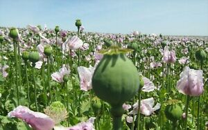 Tasmanian Poppy Seed Afghan Poppy direct from Tasmania 7500 Plus seeds