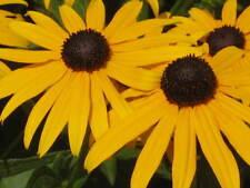 BLACK EYED SUSAN Rudbeckia Hirta Yellow Flower Seeds ( 10 seeds) F-032