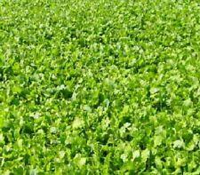 2# Athena Rape, pure fresh seed, deer food plot seed, forage wildlife seed
