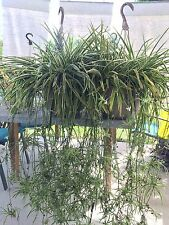 6 Reverse ~ Spider Plant Large Babies Hanging Baskets/Pot Clean Inside Air