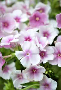 PICK & MIX 30 Quality PHLOX Flower Seed BLUSHING BRIDE Fragrant CARAMEL BEE LOVE