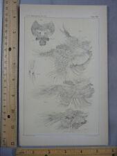 Rare Antique Original VTG Artemia Gracilis Verrill Shrimp Illustration Art Print