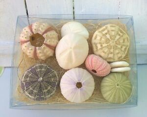 Real Sea Urchins Gift Pack of 10 Seashells Sputnik Urchins Sand Dollars