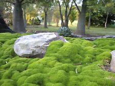 Scleranthus Biflorus 'knawel' - 20 Seeds - Hardy Perennial