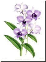 """Vintage Botanical Art CANVAS PRINT~ Purple Orchid 24""""X16"""""""