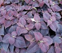 COLEUS DARK CHOCOLATE Solenostemon Scutellarioides - 40 Bulk Seeds