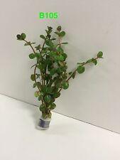 Live Fresh Water Aquatic Rotala indica Bundle Plant B105