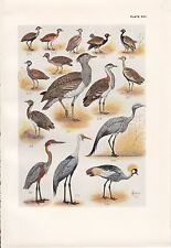 1940 SOUTH AFRICAN BIRD PRINT ~ GOLIATH HERON WATTLED CRANE BUSTARD KORHAAN