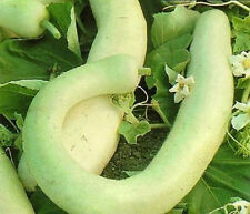 Cucuzzi Italian Edible Gourd Vegetable (Long) 25 Seeds