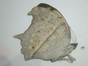 Real Dried Insect/Butterfly Non set B7491 Large Salamis parhassus Pearl wings