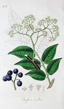 Quassia excelsa quassiabaum jamaica bitterholz amargo Wood bayas Leaf hoja