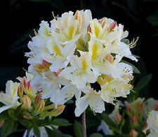 Gartenazalee Daviesii Rhododendron luteum 30-40cm Frühlingsblüher
