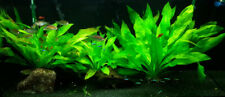 *BUY 2 GET 1 FREE* Amazon Sword Echinodorus Bleheri Live Aquarium Plants Rooted✅
