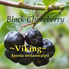 ~Viking~ Aronia melanoca Black Chokeberry Fruit Tree Hardy to -30 °F Potd Plant