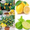 20Pcs Rare Lemon Tree Seeds Home Garden Fast Grow Bonsai Organics Fruit Decor