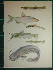 VINTAGE NATURAL HISTORY PRINT ~ BREAM WEATHERFISH STONE LOACH CATFISH POUT
