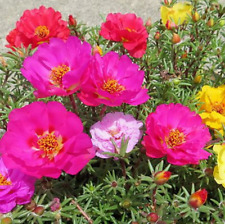 500pcs Moss Rose (Portulaca Grandiflora Mix) flower seeds