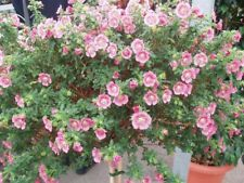 200 x  Cape Mallow Seeds Anisodontea Capensis Shrub Organic Bee Attracting 0.4